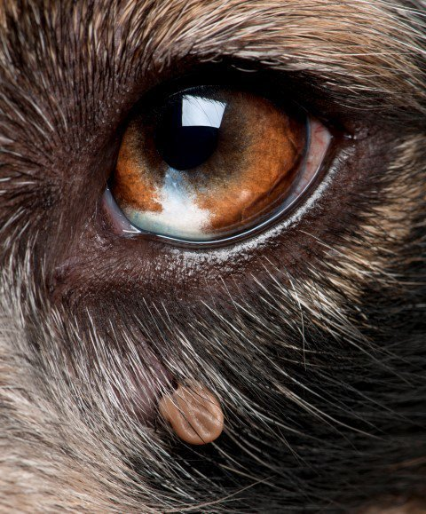 Ticks can hide around the dog's eyes