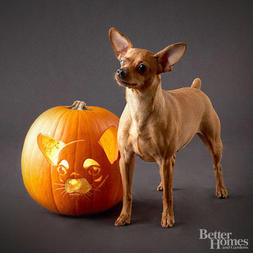 Pumpkin-Carvings of Dogs - Chihuahua