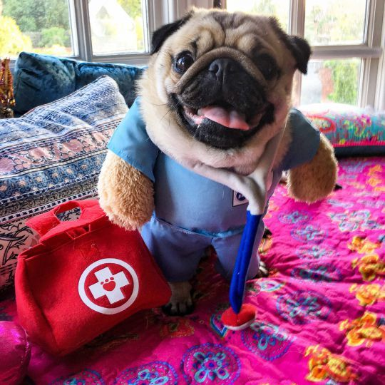 Alfie the Pug - Proof that not all heroes wear capes, Alfie the therapy Pug has been brightening the days of hospitalised children since 2014. Often spotted wearing a themed outfit, Alfie travels across the UK with his owner, Suzy, to provide unwell child