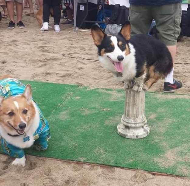 The Corgi talent show