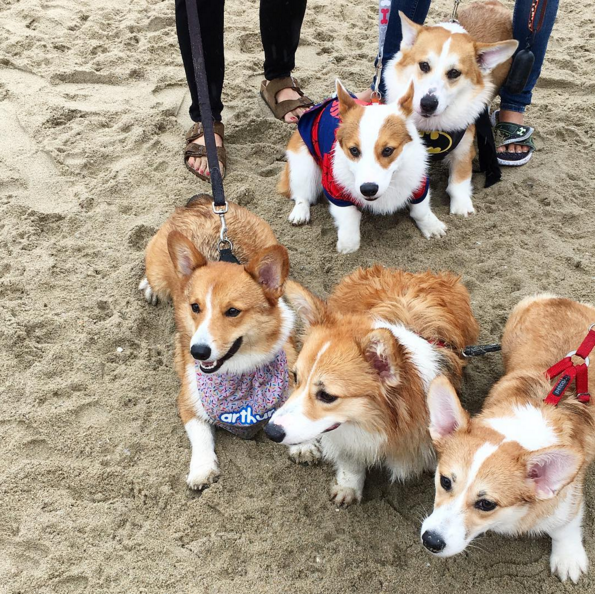 Happy Corgis on the beach