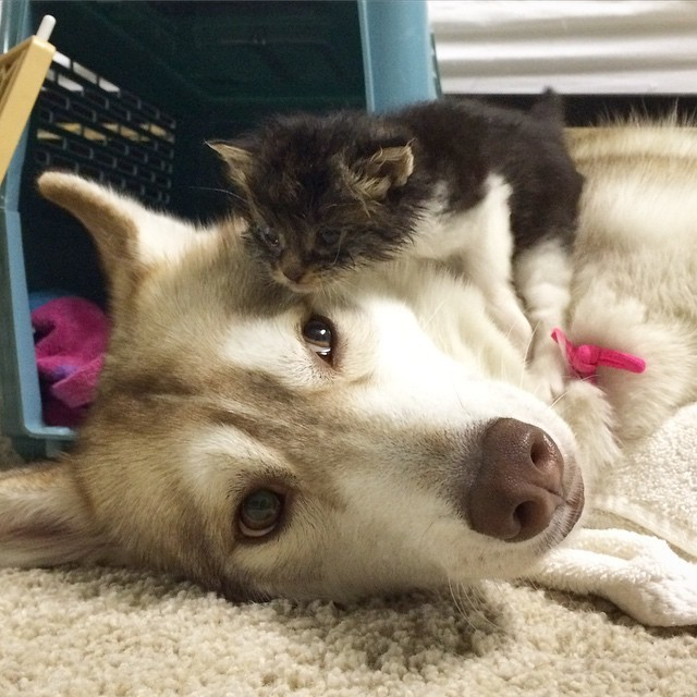 Lilo, the Husky lady and Rosie, the kitten