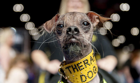 Mugly the Chinese Crested Dog - Proving that true beauty is found within, Mugly, winner of the World's Ugliest Dog Contest in 2012, dedicated his life to helping others. Although he found international fame for his looks, he is fondly remembered as a hero