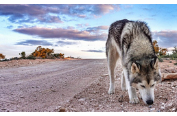 Into The Wild - The Adventures Of A Wolfdog