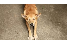 "Morning stretch ""a lá"" dog – why do they do it?"