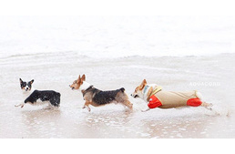 More Than 600 Corgis Had A Beach Party