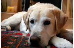 Adopting A Guide Dog?